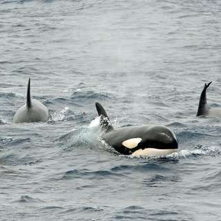Bremer Bay Canyon Killer Whale Exhibitions
