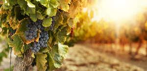 Delaney Vineyards