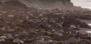 Piedras Blanca Elephant Seals Rookery