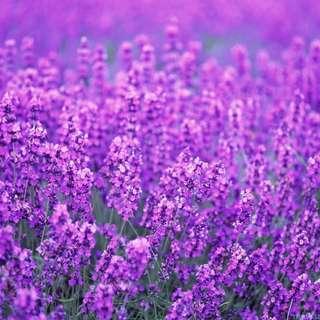 Lavender Ridge Farm
