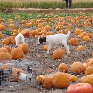 Studt's Pumpkin Patch and Corn Maze