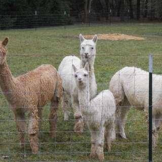 Purdy Lil' Suri Alpaca Farm, Llc
