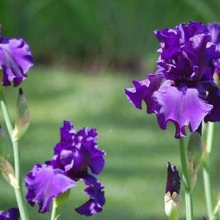 Hondo Iris Farm