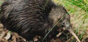 Kiwi North